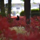彼岸花の名所!千葉県・松戸「祖光院」常盤平駅から徒歩で