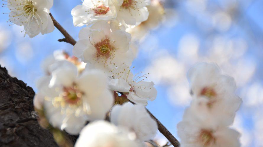 「習志野市梅林園」梅を見に行くなら習志野市鷺沼台へ!隠れ梅園の2月末の様子